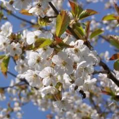 В облцентре зацветет фруктовый сад в память о героях войны вишневый сад