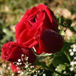 Как выбрать свежий букет роз