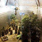 В Вязьме обнаружена плантация конопли