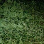 Около трех кило марихуаны вырастил смолянин в своем парнике