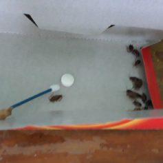 «Сбежали от живности». В смоленской детской больнице обитают полчища тараканов