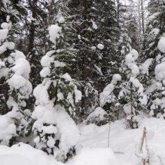 Нелегальную торговлю елками будут пресекать в Смоленске
