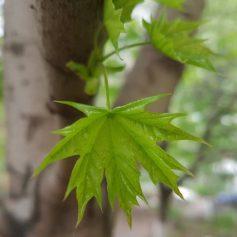 Аварийные деревья спилят в Смоленске