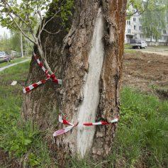 В Смоленске спиливают аварийные деревья