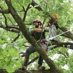 Массовое кронирование деревьев в Смоленске оказалось обоснованным