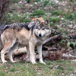 Волк зашел на солонец в «Смоленском поозерье» и попал в объектив камеры