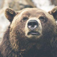 «Набирающий жир» медведь попал в объектив камеры в «Смоленском поозерье»