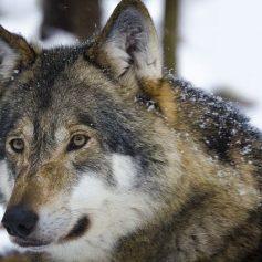 Второго волка добыли в «Смоленском поозерье»