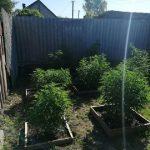 Житель Смоленской области развел плантацию конопли