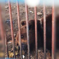 «Она лежала без движения». Смоляне забили тревогу о состоянии медведицы в вольере на трассе М-1